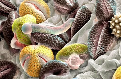 что такое пыльца, пыльца под микроскопом